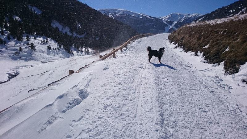 Perro en el camino de la vall d'incles nevado
