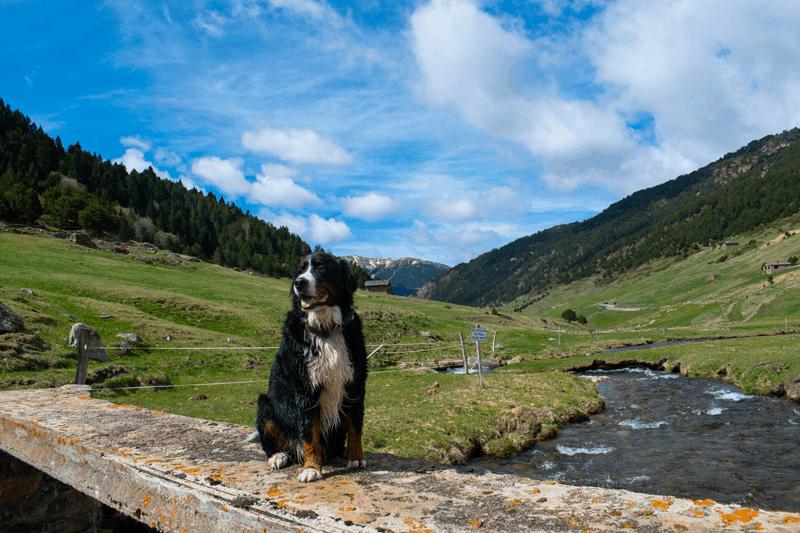 Perro encima de un puente en la vall d'incles