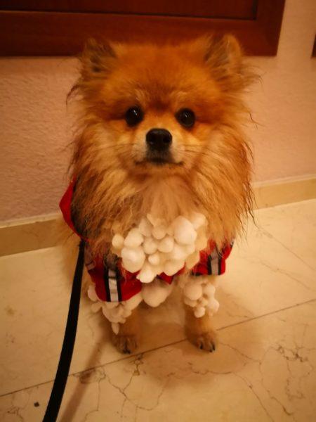 Perro lleno de bolas de nieve
