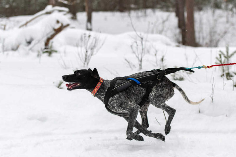 Perro corriendo canicross