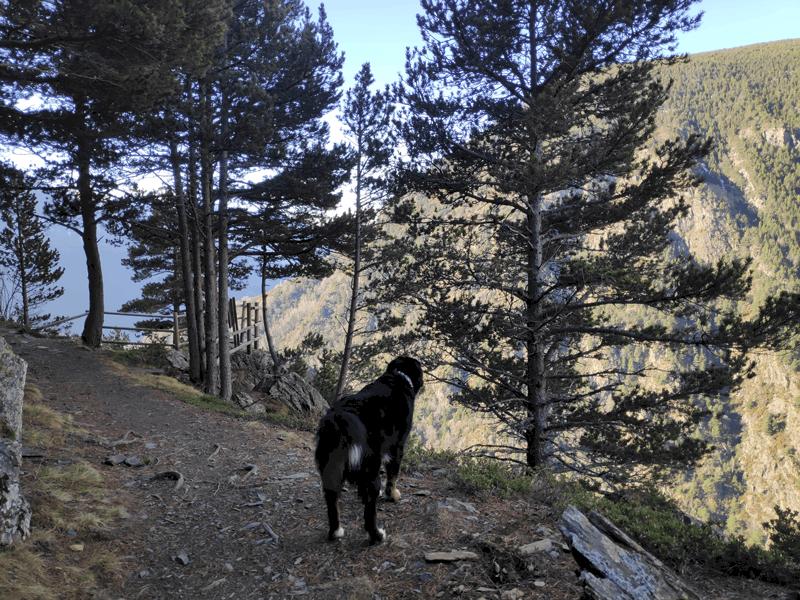 Perro recorriendo el interparroquial de Canillo a Encamp