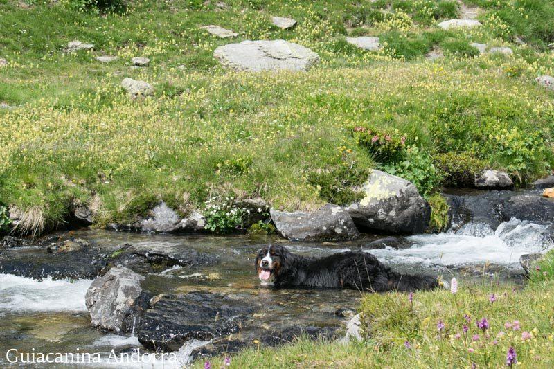 Perro bañandose en el rio