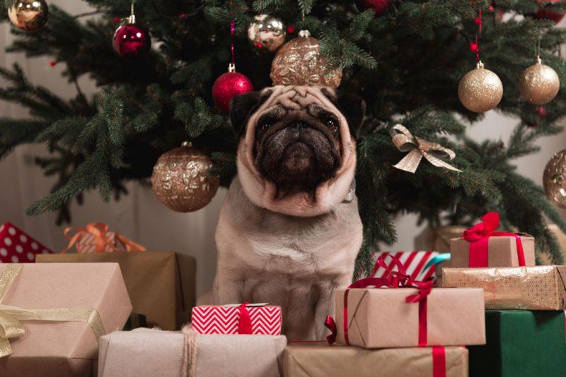Perro raza pug delante de un arbol de navidad con regalos